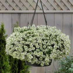 Sweet Alyssum or Sweet Alison Seeds 2 - 2
