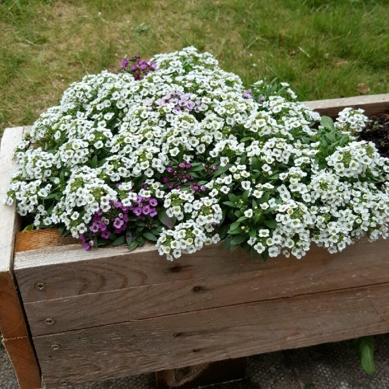 Sweet Alyssum or Sweet Alison Seeds 2 - 1