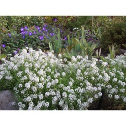 Sweet Alyssum or Sweet Alison Seeds 2 - 3
