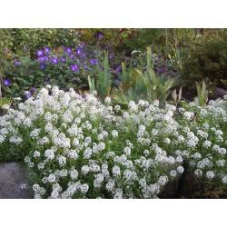 Duftsteinrich, Steinkraut Samen 2 - 3