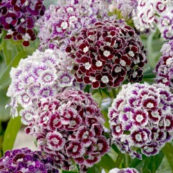 Σπόροι λουλουδιών Αγριογαρύφαλλο βρώσιμα λουλούδια 1.85 - 4