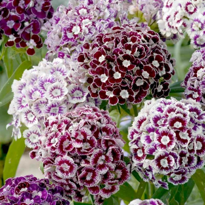 Graines Dianthus barbatus fleurs comestibles 1.85 - 4