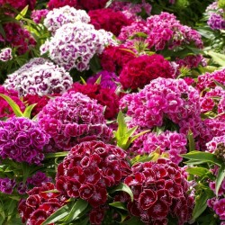 Semillas de CLAVEL DEL POETA flores comestibles 1.85 - 1