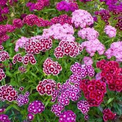 Graines Dianthus barbatus fleurs comestibles 1.85 - 2