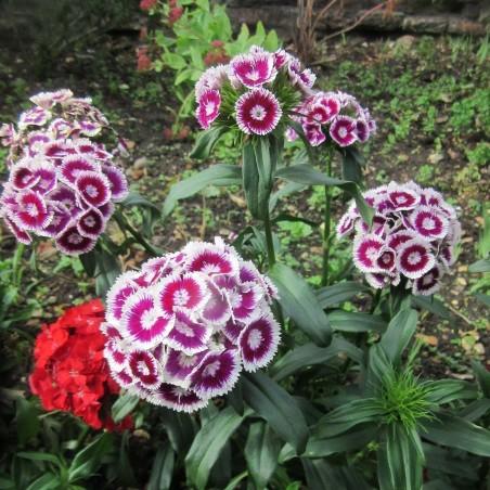 Graines Dianthus barbatus fleurs comestibles 1.85 - 3