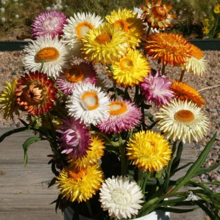 Strawflower Seeds, Golden everlasting 1.95 - 1