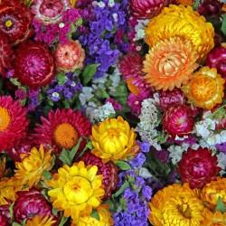 Garten Strohblume Samen 1.95 - 2