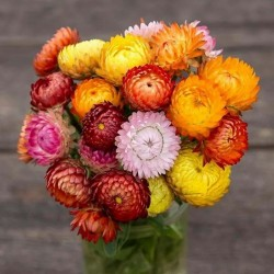 Strawflower Seeds, Golden...