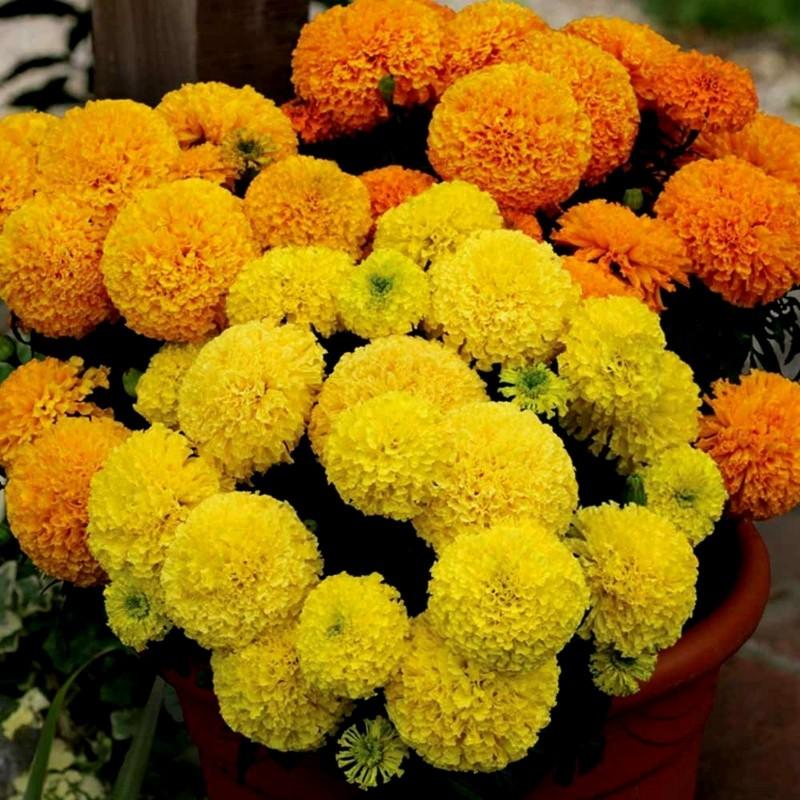 Graines de Grand Marigold 1.55 - 6