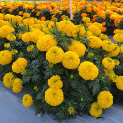 Tagetes Big Marigold Seeds 1.55 - 2