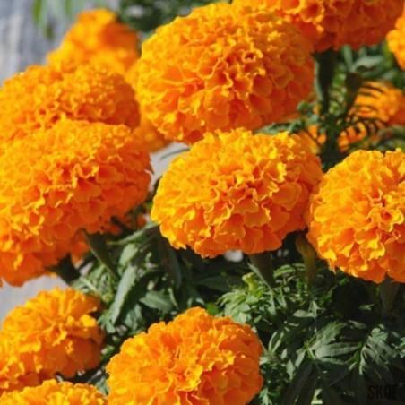 Jiaogulan frön - The Herb Odödlig