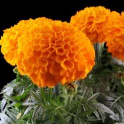Graines de Grand Marigold 1.55 - 4
