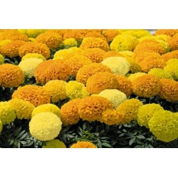 Tagetes Big Marigold Seeds 1.55 - 5