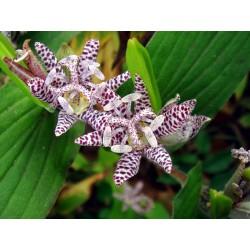 Σπόροι Tricyrtis hirta 1.2 - 5