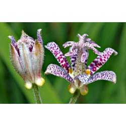 Semillas de Toad Lily 1.2 - 6