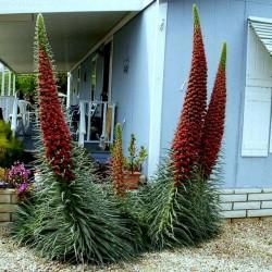 Graines Vipérine de Tenerife rouge (Echium wildpretii) 2.5 - 1