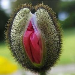 Vulva Blomma Frön