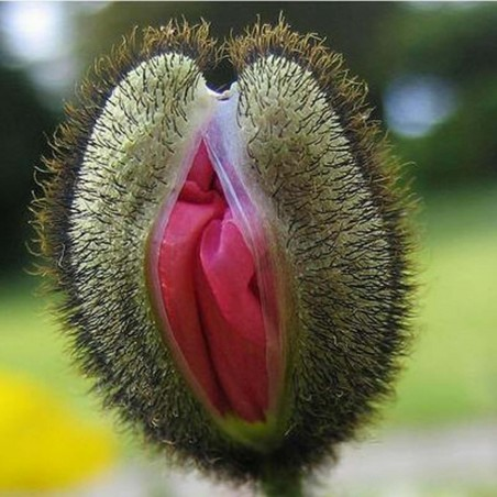 Vulva Cvet Seme