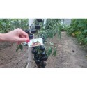 Graines Haricots magiques message (Robinia pseudoacacia)