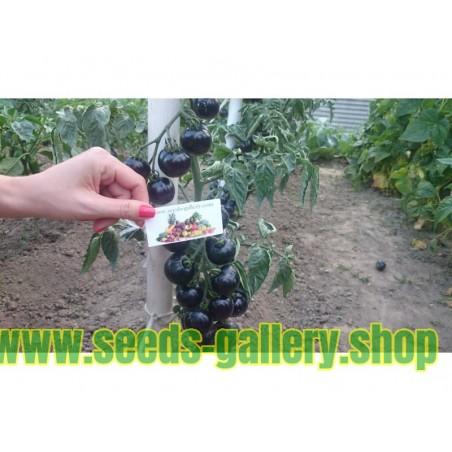 Σπόροι Ντομάτα Indigo Rose