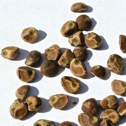 Hawaiian Baby Woodrose Seeds (Argyreia nervosa) 1.95 - 2