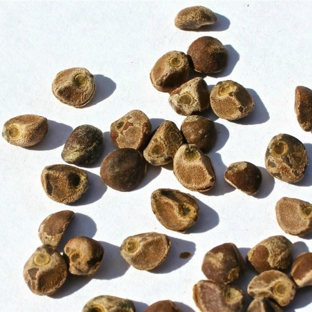 Graines de Liane d'argent (Argyreia nervosa) 1.95 - 2
