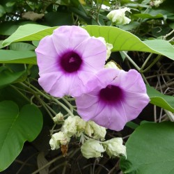 Hawaiian Baby Woodrose Seeds (Argyreia nervosa) 1.95 - 3