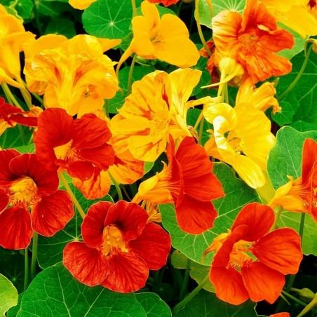 Große Kapuzinerkresse Samen Essbar - Arzneipflanze 2 - 3
