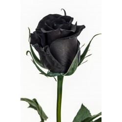 Frön Black Rose Sällsynta