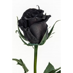 Graines Rose Noire Rare 2.5 - 2