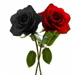 Sementes de Rosa Negra Raro 2.5 - 4