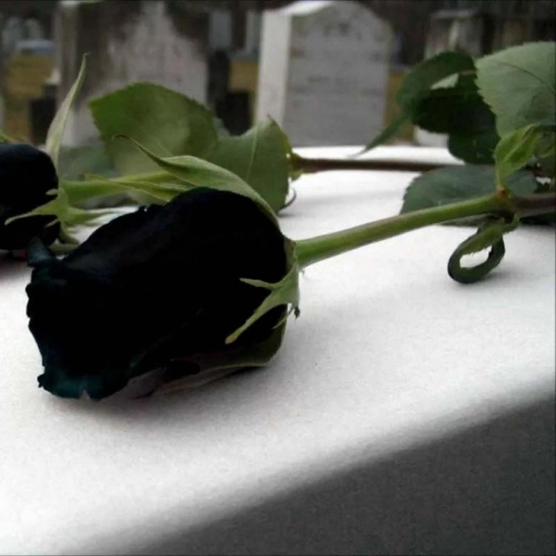 Extra Schwarze Rosen Samen Top ! 2.5 - 1