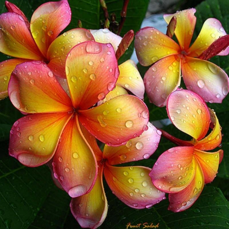 """Sementes de Plumeria """"Orange Karasin"""" 2.5 - 1"""