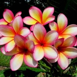 """Sementes de Plumeria """"Orange Karasin"""" 2.5 - 2"""