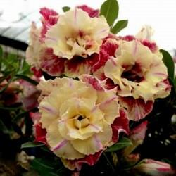 "Adenium Obesum Seeds ""Lemon pink"" 1.9 - 1"