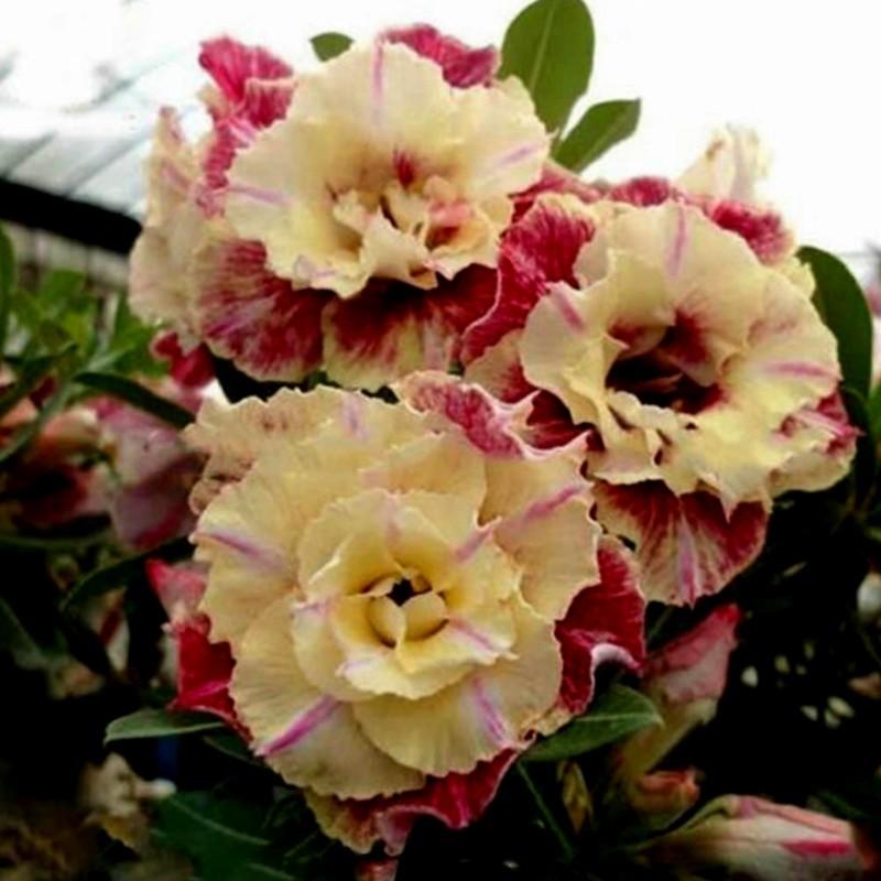 """Semillas de Rosa Del Desierto """"Lemon pink"""" 1.9 - 1"""