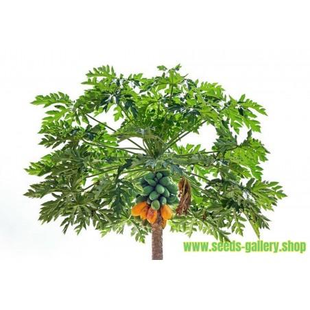 Semi di Papaya (Carica papaya)