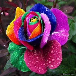Rainbow Rose Seeds 2.5 - 4
