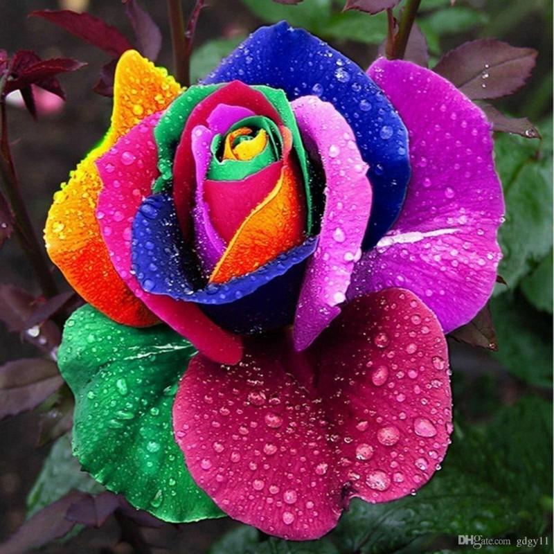 Rainbow Rose Seeds 2.5 - 4