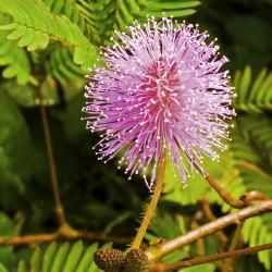 Mimose Samen - Schamhafte...