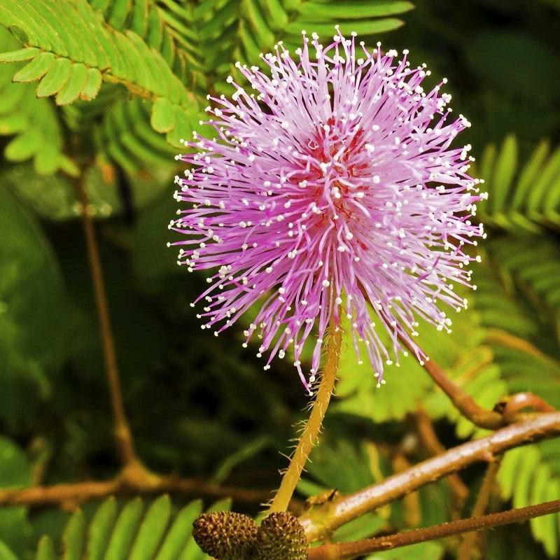 Semi di Pianta Sensitiva - Mimosa Pudica 1.35 - 2