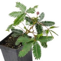 Semillas de Mimosa sensitiva – Vergonzosa 1.35 - 1
