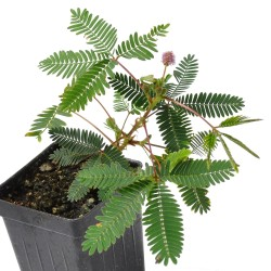 Sensitive Plant Seeds (touch-me-not) 1.35 - 1