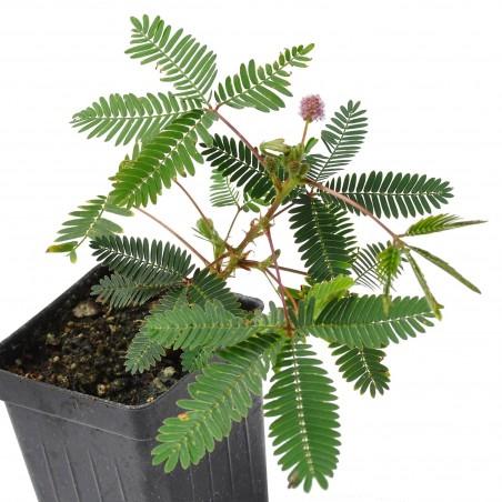 Mimose Samen - Schamhafte Sinnpflanze (Mimosa pudica) 1.35 - 1
