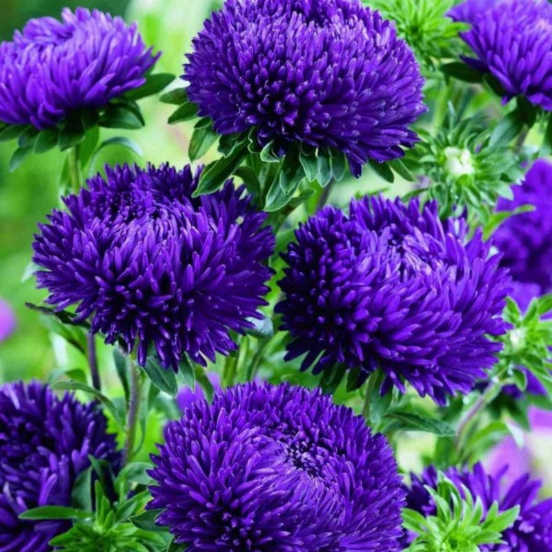Chinese Aster Blue Samen 1.95 - 4