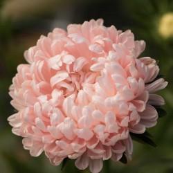 Graines de Reine Marguerite rose 1.95 - 2