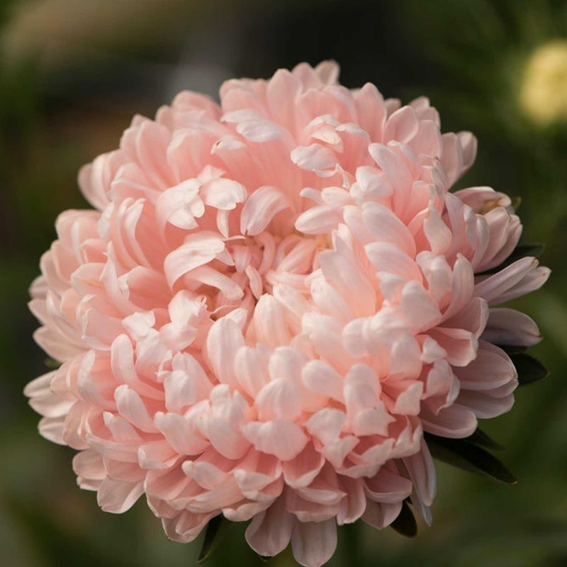 Chinese Aster Rosa Samen 1.95 - 2