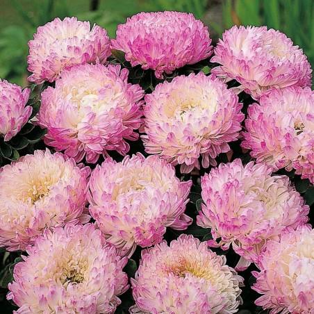 Chinese Aster Rosa Samen 1.95 - 1