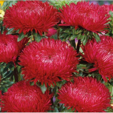 Chinese Aster Red 1.95 - 3