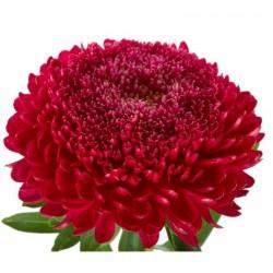 Graines de Reine Marguerite rouge 1.95 - 1